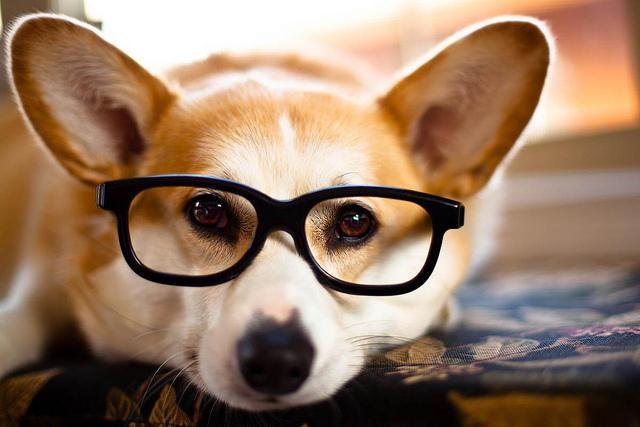 Corgi wearing glasses
