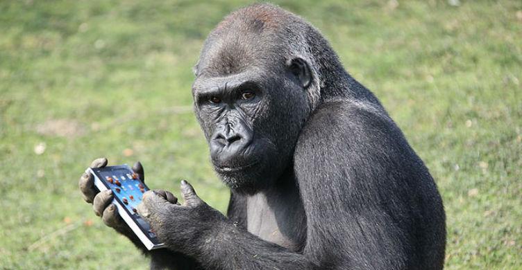 Gorilla Using iPhone